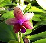 1 blühfähige Orchidee der Sorte: Phalaenopsis Liodoro
