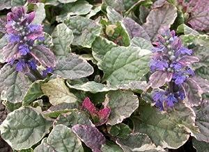 "Burgundy Glow Ajuga 48 Plants - Carpet Bugle - Very Hardy - 2 1/4"" Pot"