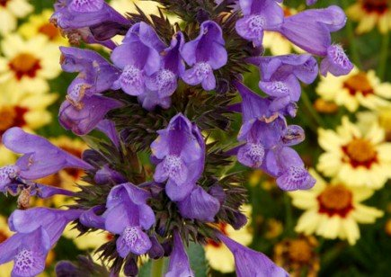 'Blue Dragon' Nepeta Perennial - Catmint