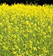 David\'s Garden Seeds Cover Crop Mustard PO3522A (Yellow) 1 Pound Package