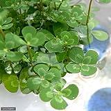 (ビオトープ/水辺植物)メダカの鉢にも入れられる水辺植物! ウォタークローバー ムチカ(1ポット分) 本州・四国限定[生体]