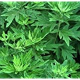 SD1660 Fragrant Wormwood Herb Seeds, Fresh Garden Herb Seeds, New Live Seeds (60 Seeds)