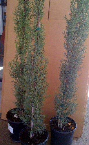 Italian Cypress Tree, One Gallon Plant