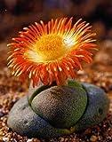 Tropica - Sukkulenten - Lebender Granit - 40 Samen