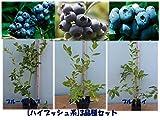 [おすすめ]人気のハイブッシュ系ブルーベリー苗木3品種セット:ブルーレイxブルークロップxジャージー直径13.5cmポット3年生樹高0.5m前後