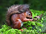 RED SQUIRREL - British Wildlife - Early Years Wooden Jigsaw - 9 pieces