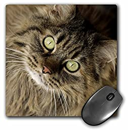 3dRose LLC 8 x 8 x 0.25 Inches Mouse Pad, Maine Coon Cat Santa Fe New Mexico Julien Mcroberts (mp_92674_1)
