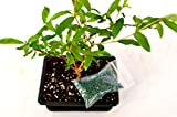 9GreenBox - Dwarf Pomegranate Mame Bonsai with Water Tray and Fertilizer