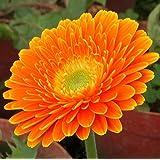 Futaba® Gerbera Barberton Daisy Gerbera jamesonii Bolus Perennial Herb Plant Color Mixing 100 Seeds