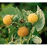 Anne Gold Everbearing Raspberry Plant - 2 Year Plant