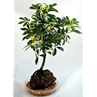 Ivory Schefflera Hawaiian Volcano Rock - Bonsai - Great Gift