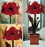 Red Lion Amaryllis Growing Kit - Great Gift! - Bulb/Pot/Soil