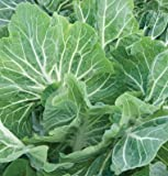 Kale Beira Kale Green 100 Hybrid Seeds by David's Garden Seeds