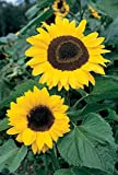 Suttons Seeds 133069 Sunflower Giant Yellow Seed
