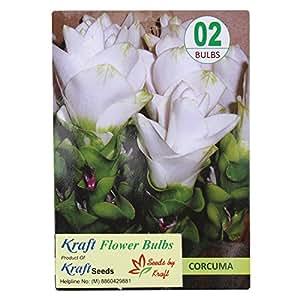 Kraft Seeds Carcuma White Flower Bulbs by Kraft Seeds