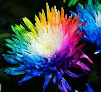100-reales-semillas-crisantemo-del-arco-iris-de-flores-rara-nueva-llegada-jardin-de-diy-planta-de-fl