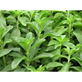 Premier Seeds Direct HRB57 Herbs Stevia Rebaudiana Seeds (Pack of 50)