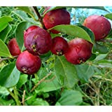 Strawberry Guava - Psidium cattleianum , Tropical Fruit Tree, Live Potted