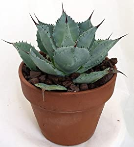 "Tequila Blue Agave Cactus - 4.5"" Clay Pot - Easy to Grow"