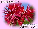 生垣に大人気の樹木☆トキワマンサク樹高1.0m前後 青葉・ピンク花 常盤満作
