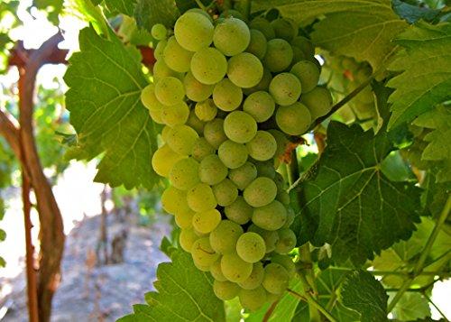 Heirloom 50 Seeds Green Grape Fruit Vine Vitis Vinifera Seeds (Heirloom Grape Seeds compare prices)