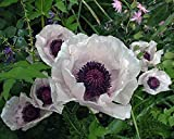 Pack X6 Poppy Papaver Orientale Checkers 'Royal Wedding' Perennial Garden Plug Plants