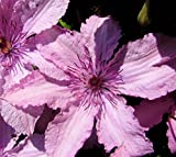 Amazon / Hirts: Vines & Groundcovers; Clematis: Clematis Hagley Hybrid Pink Chiffon Vine - 2.5 Pot