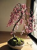 八重の 梅盆栽  枝垂れ梅盆栽  しだれ梅の 八重咲の花と 梅の香りの 贈り物