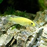 (熱帯魚)ラビドクロミス・カエルレウス(2匹) 本州・四国限定[生体]