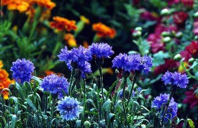 300 + Seeds 'Centaurea cyanus