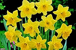 Carlton Daffodil , Bulb (10 Bulb) Daffodil , Stunning Blooms with Deep Golden Yellow Petals