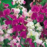 Suttons Seeds 133476 Everlasting Mix Sweet Pea Seed