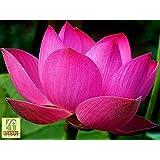 Liveseeds - Nelumbo Nucifera Lotus pink, Water Plant, 5 fresh seeds