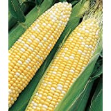 SWEET CORN F1 HYBRID VEGETABLE SEEDS (AVG 30-50 SEEDS) PACK OF 2 SOLD BY GARDEN NEEDS