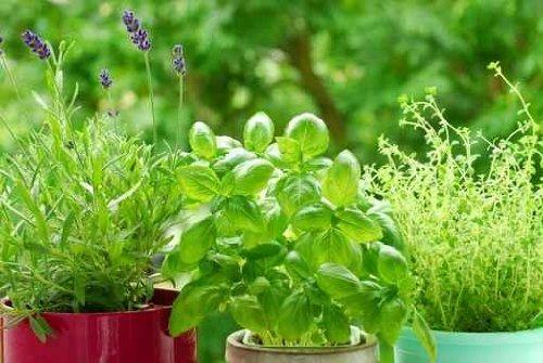 Home Herb`s Garden - 24