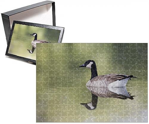 Photo Jigsaw Puzzle of USA, Ogle County, Illinois, Canada Goose floating on Rock River