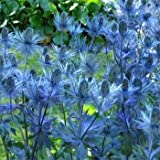 Outsidepride Eryngium Alpinum - 200 Seeds