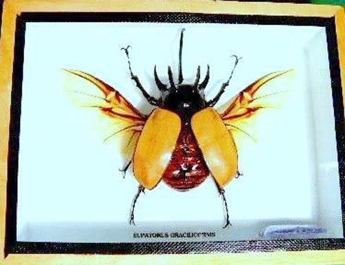 rare-giant-5-horn-rhino-beetleopen-winga1-taxidermy-insect-entomology-gift