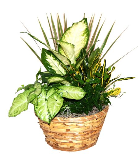 Brown Sugar Gift Basket with Live Tropical Foliage Plants.