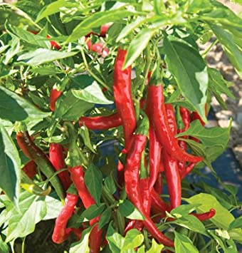 Red chili peppers plant