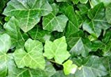 Thorndale English Ivy 48 Plants – Hardy Groundcover
