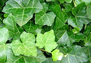 Amazon.com: Thorndale English Ivy 48 Plants - Hardy Groundcover - 2 1
