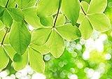 【A3サイズミニポスター】 新緑の樹葉 POSA3-065 (42.0×29.7cm)