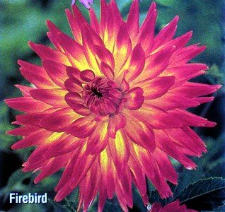 Buy Firebird Cactus Dahlia Tuber – Explosive Flame-Red!