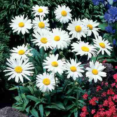 1 X Leucanthemum X Superbum Alaska - Crazy Daisy In A 9cm Pot - Herb - Hardy Perennial Plant - Flowering Plants Shrubs