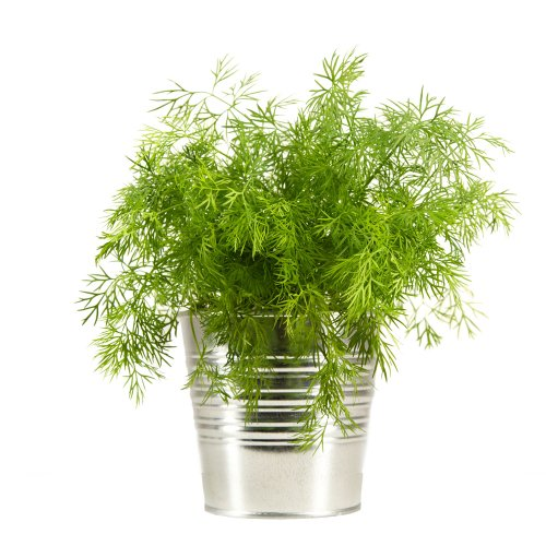 "Dill Seeds ""Gewohnlicher"" Heritage German Heirloom Variety, Very Fragrant"