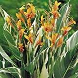 Suttons Seeds 147060 Queensland Arrowroot Seed Canna