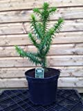Monkey Puzzle Tree Araucaria araucana in 3 Litre Pot, 4 Years Old