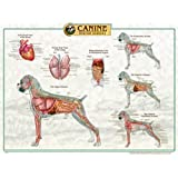 Canine Internal Anatomy Chart