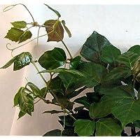 Grape Ivy Plant - Cissus rhombifolia - 6
